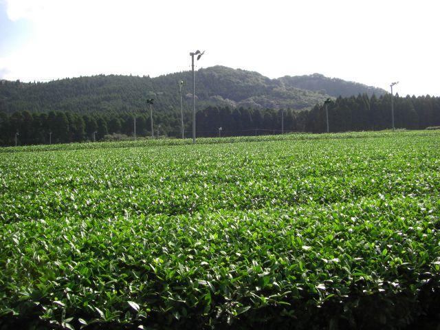 鹿児島産べにふうき茶